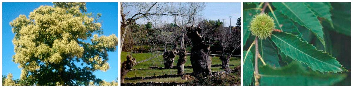 origen e historia de el castaño